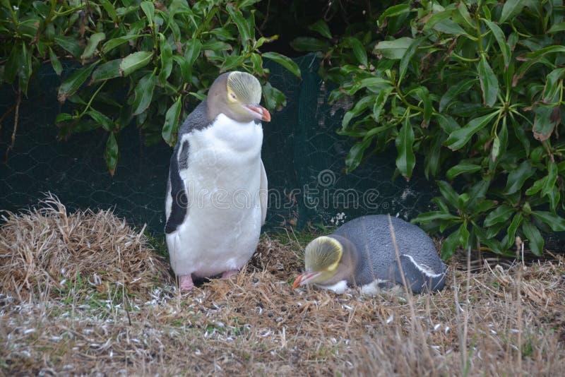 Um par de pinguins amarelo-eyed imagens de stock