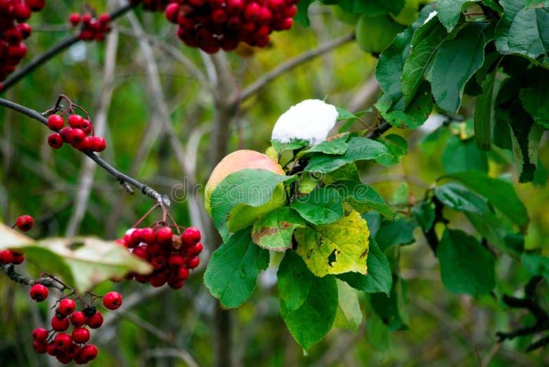 Um par de suculento, de inverno e de maçãs bonitas pendura na árvore do outono, ainda decorada com as folhas verdes, esperando a  fotografia de stock