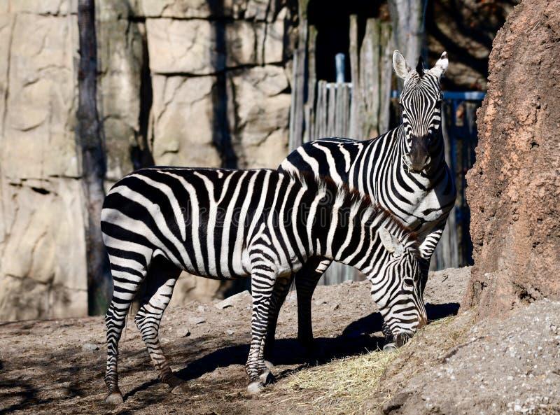 Um par de zebra das planícies foto de stock royalty free