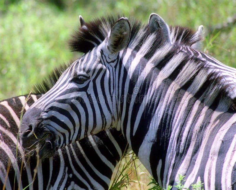 Um par de zebras foto de stock royalty free