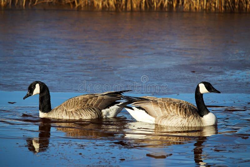 Um par do aninhamento de gansos canadenses foto de stock