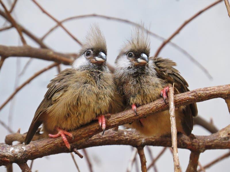 Um par dois pássaros exóticos de encantamento bonitos adoráveis doces bonitos super que sentam-se junto no ramo fotos de stock