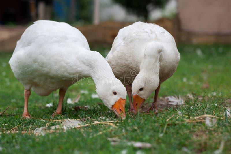 Um par dos gansos brancos foto de stock