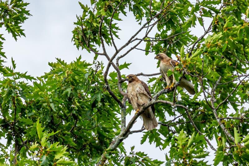 Um par falcões vermelho-atados que empoleiram-se em um dossel de árvore imagens de stock royalty free