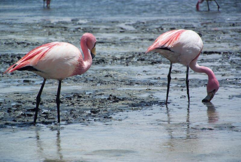 Um par flamingos cor-de-rosa alimentam-se na superfície do lago do salina - Laguna Hedionda imagem de stock royalty free