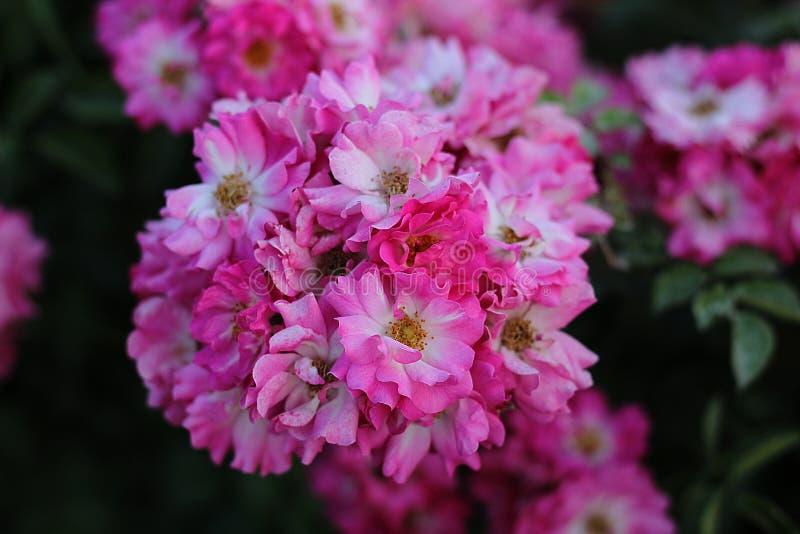 Um par flores do rosa na natureza imagem de stock