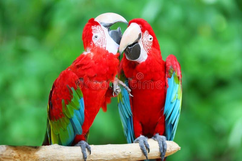 Um par macaws bonitos fotos de stock royalty free