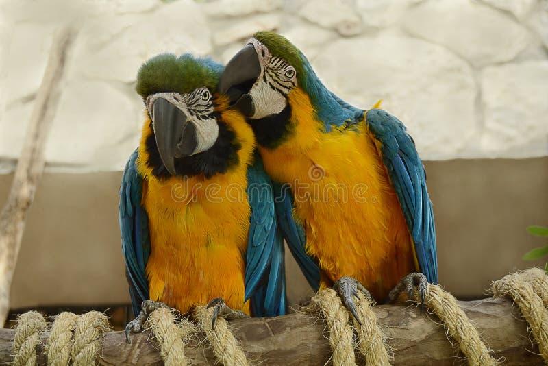 Um par papagaios imagens de stock royalty free