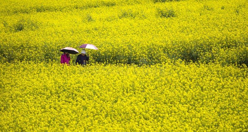 Um par que anda na colza amarela do campo em Luoping imagens de stock royalty free