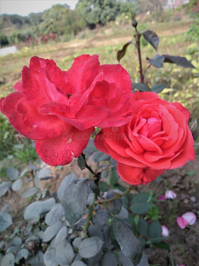 um par rosa vermelha imagens de stock royalty free