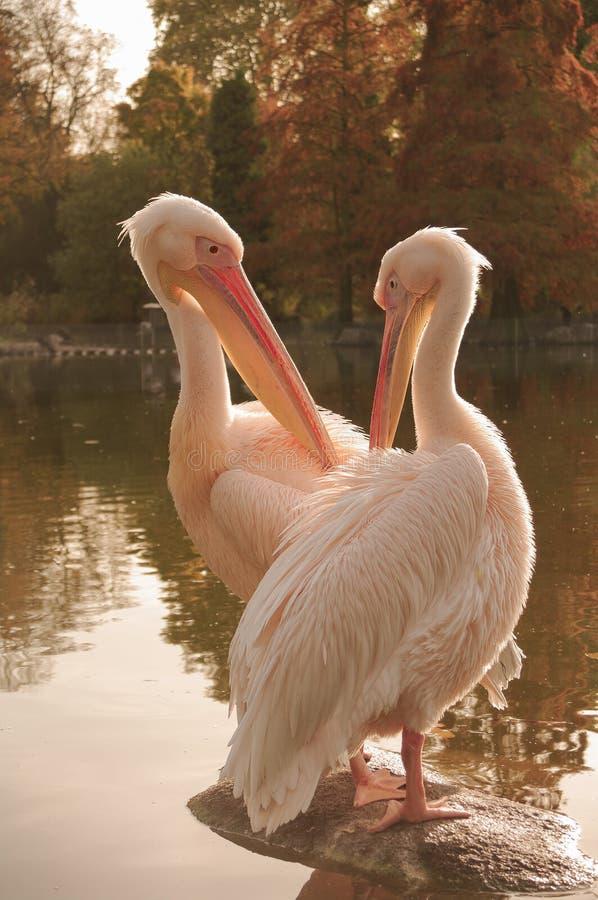 Um par Rosy Pelicans em Luise Park em Mannheim, Alemanha fotos de stock royalty free