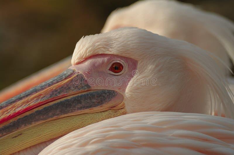 Um par Rosy Pelicans em Luise Park em Mannheim, Alemanha foto de stock