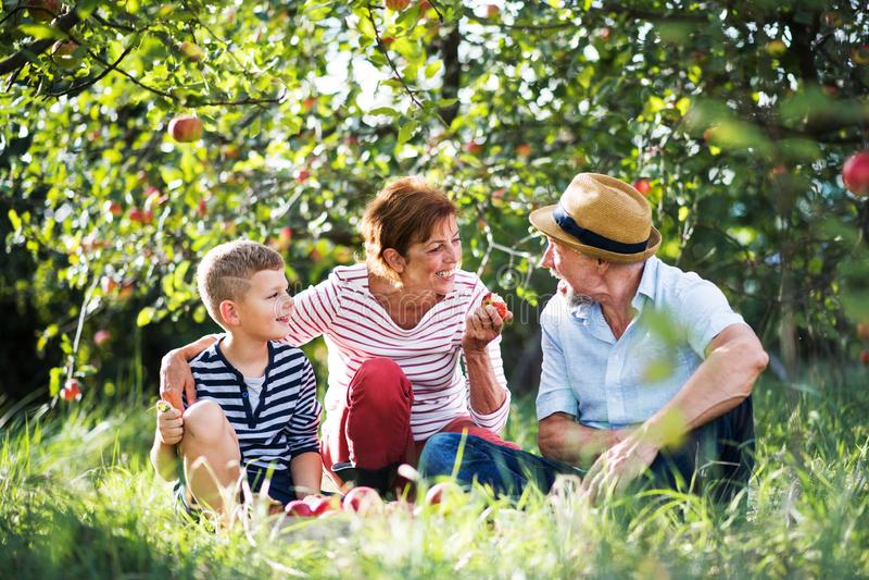 Um par superior com o neto pequeno no pomar de maçã que come maçãs imagens de stock