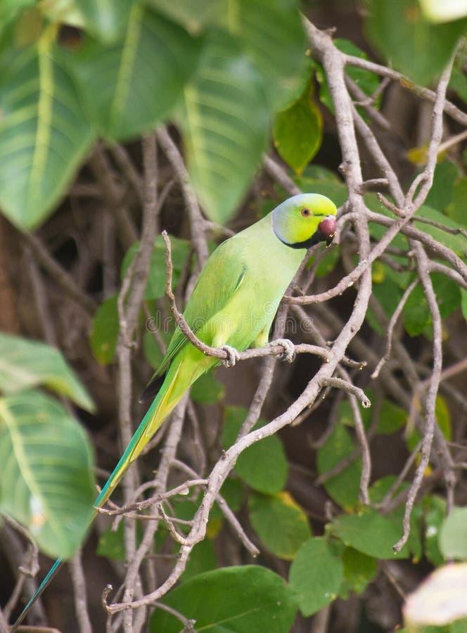 Um Parakeet Rosa-rodeado na selva fotografia de stock royalty free