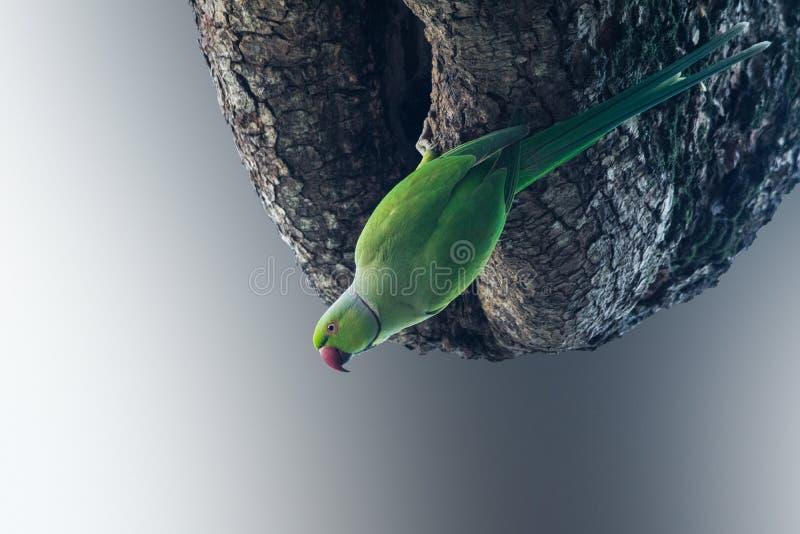 Um parakeet verde imagens de stock royalty free