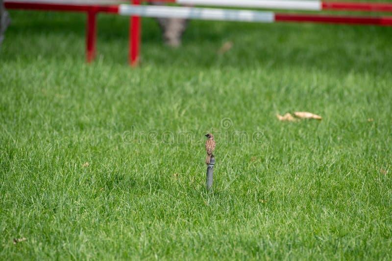 Um pardal no montanus do transmissor do verão, nome inglês: Pardal de árvore euro-asiático fotografia de stock