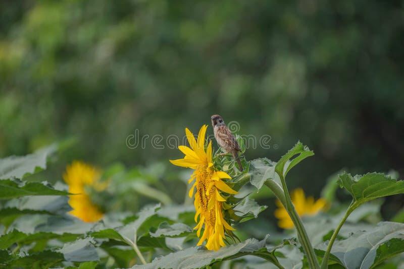 Um pardal no montanus do transmissor do verão, nome inglês: Pardal de árvore euro-asiático foto de stock