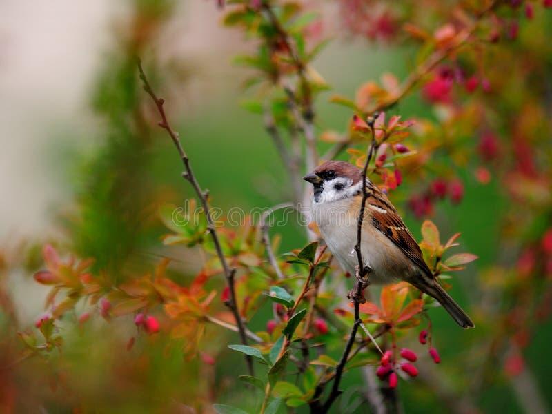 Um pardal pequeno senta-se em um ramo da bérberis fotografia de stock