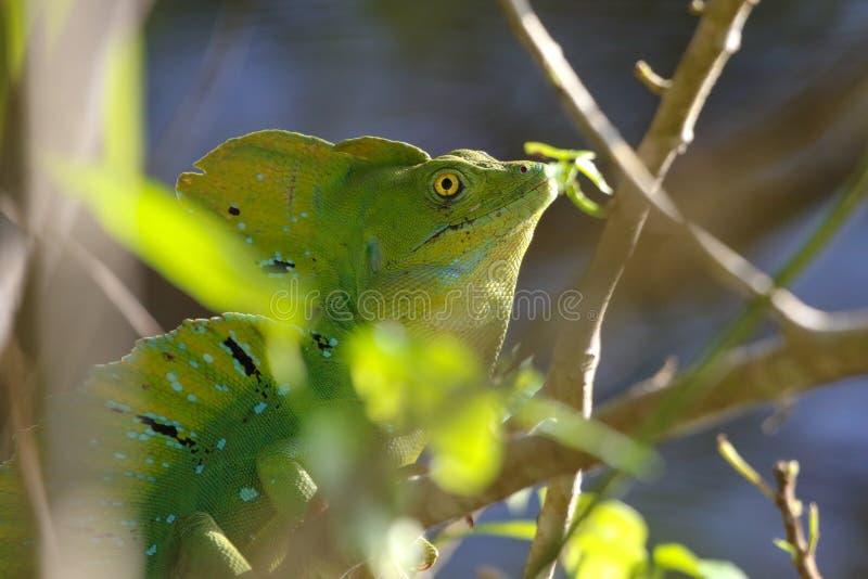 Um parque masculino de Jesus Christ Lizard Cahuita National fotos de stock