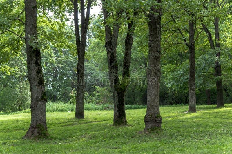 Um parque obscuro do verão com os troncos de árvores altas, de arbustos e da grama verde imagem de stock royalty free