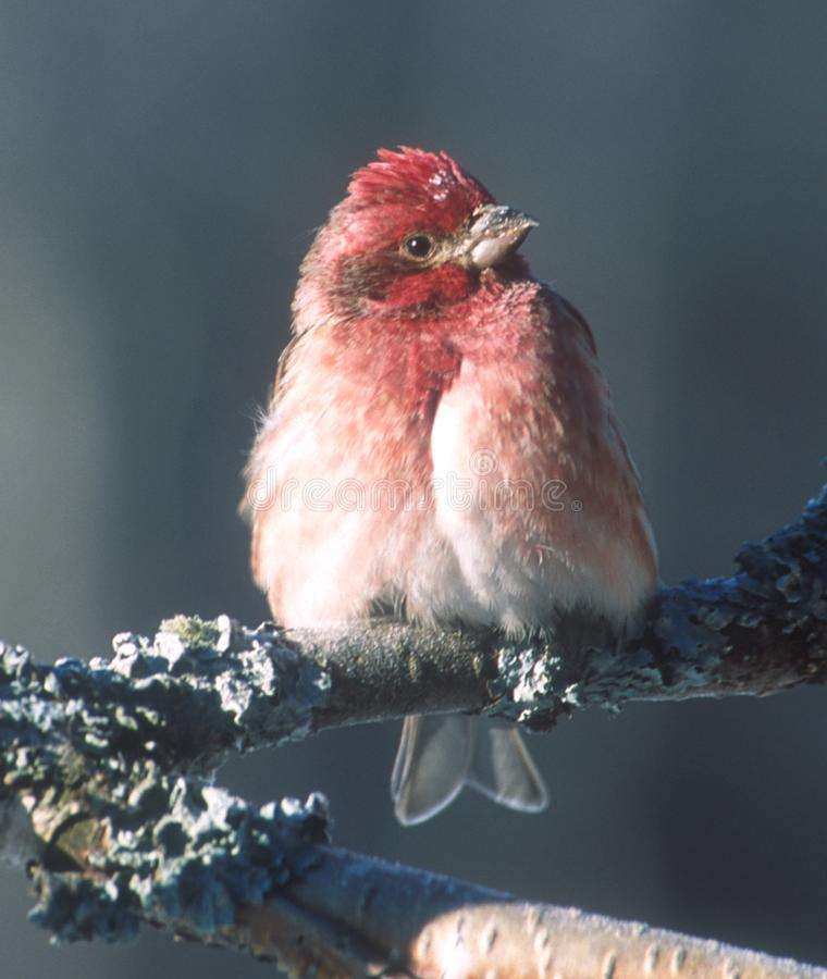 Um passarinho roxo descansa em um ramo do vidoeiro foto de stock royalty free