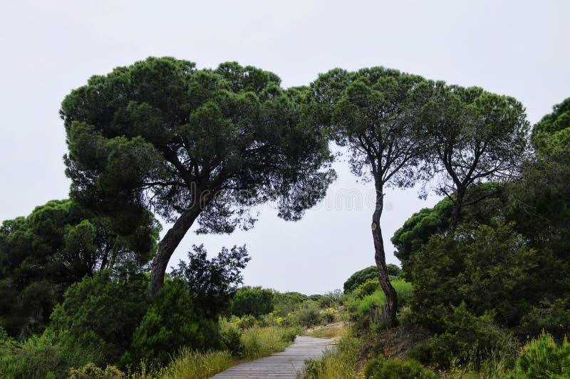 Um passeio à beira mar de madeira de enrolamento através das dunas perto de Matalascanas, província Huelva fotos de stock royalty free