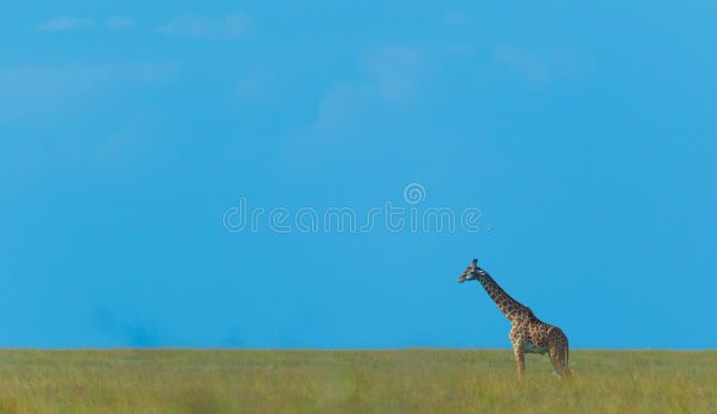 Um passeio solitário do Giraffe imagens de stock royalty free
