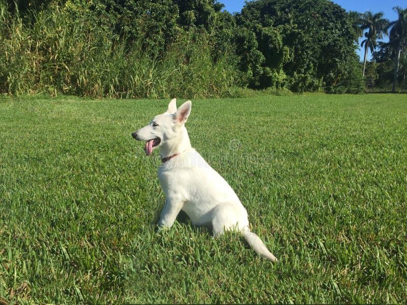 Um pastor alemão branco Puppy Sitting na grama imagem de stock