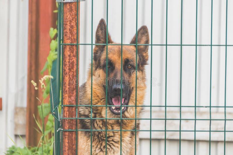 Um pastor, cão no aviário, cerca da gaiola, criação de animais da raça, guarda fotografia de stock royalty free