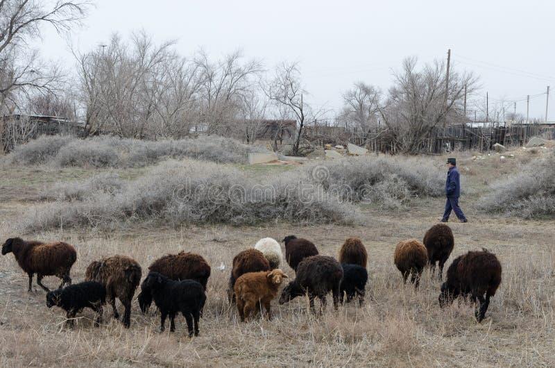 Um pastor reune carneiros imagem de stock royalty free