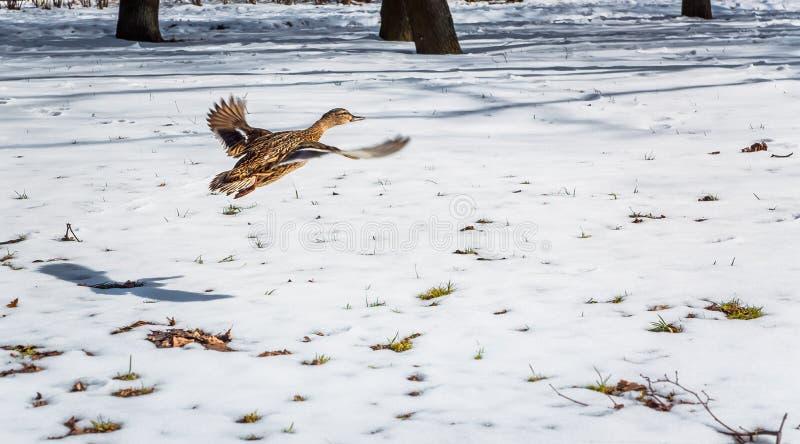 Um pato está voando acima do campo de neve imagens de stock royalty free