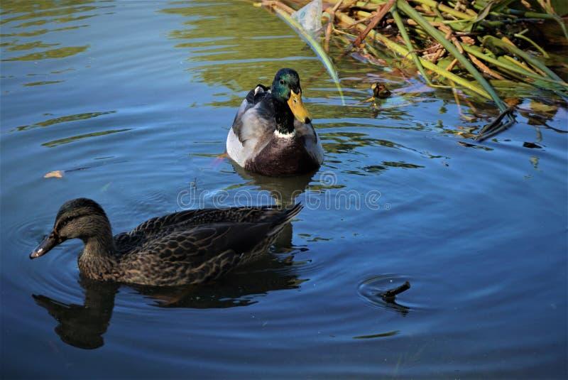 Um pato marrom e teal numa lagoa nadando perto da erva daninha fotografia de stock royalty free