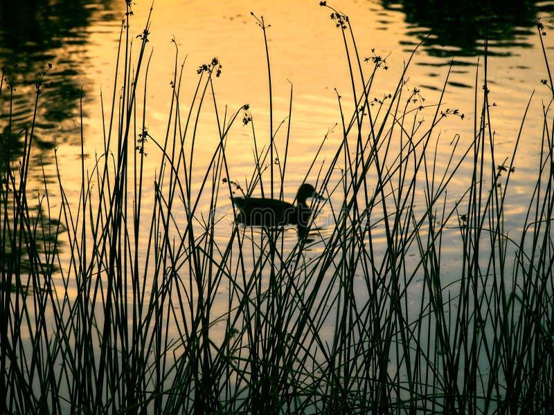 Um pato nada na lagoa foto de stock