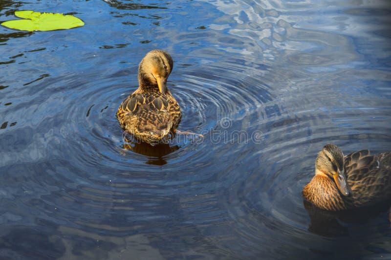 Um pato selvagem aquático bonito do pássaro com um bico e os flutuadores das asas na perspectiva de imagens de stock royalty free