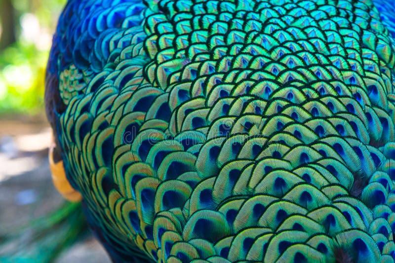 Um pavão bonito com penas coloridas back foto de stock royalty free