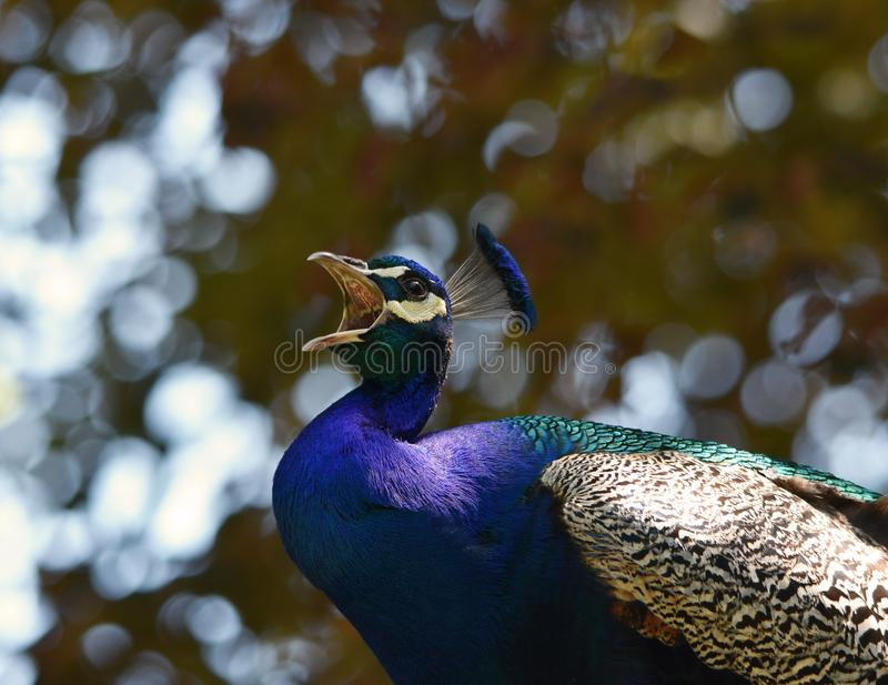 Um pavão real que chama com bico aberto foto de stock