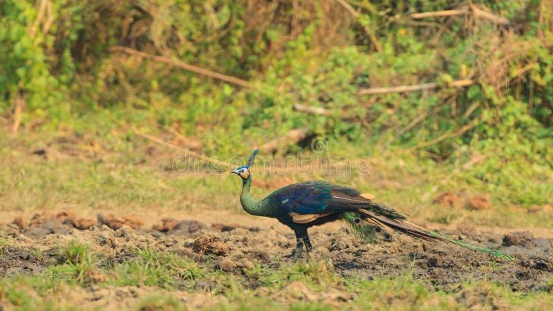 Um peafowl verde que está apenas no campo imagens de stock royalty free