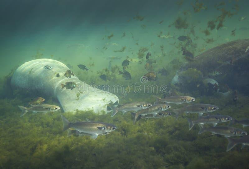 Do peixe-boi escola do salmonete upside-down - imagem de stock royalty free