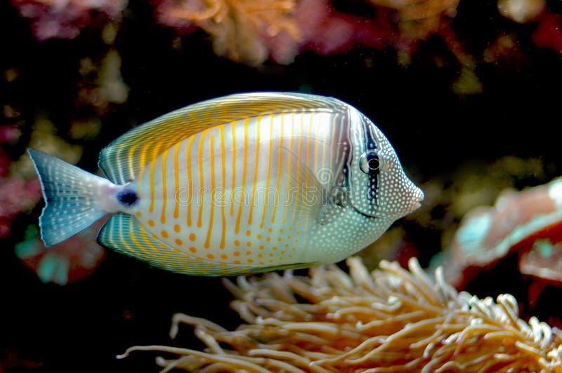 Um peixe colorido fotografia de stock royalty free