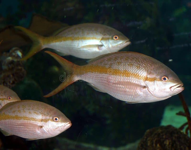 Um peixe coral no Mar Vermelho foto de stock royalty free