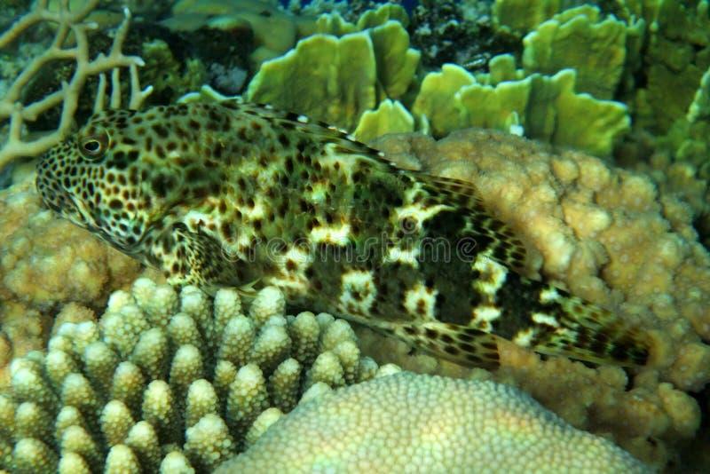 Um peixe coral no Mar Vermelho imagens de stock royalty free