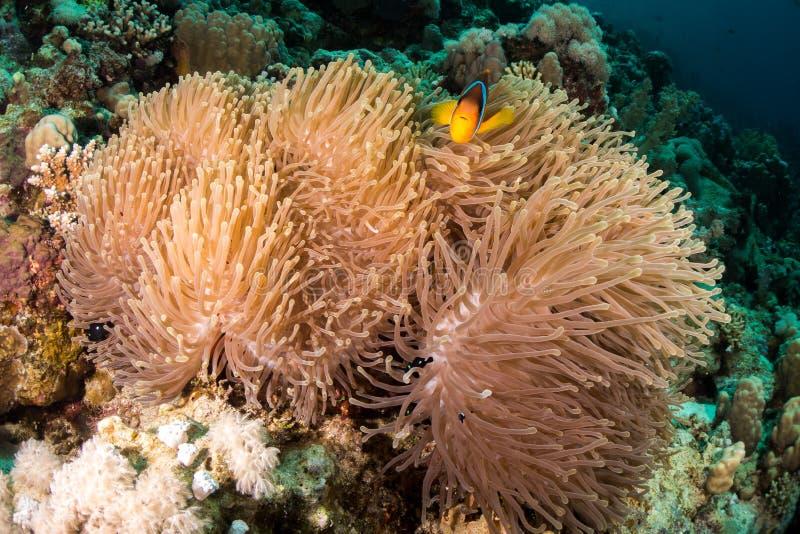 Um peixe de anêmona do Mar Vermelho em Egito imagens de stock