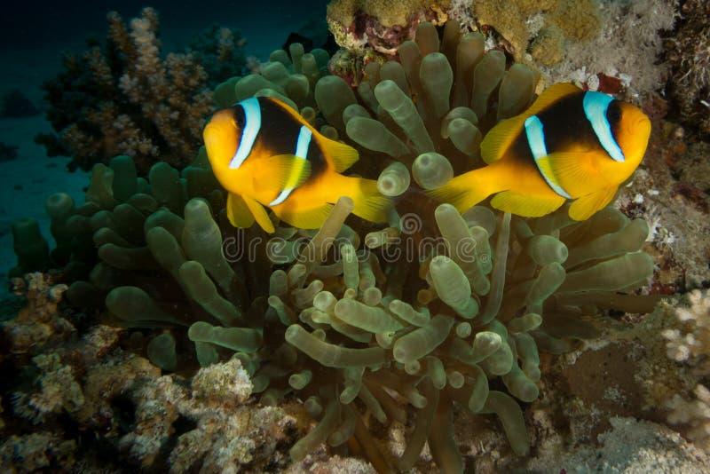 Um peixe de anêmona do Mar Vermelho em Egito fotografia de stock