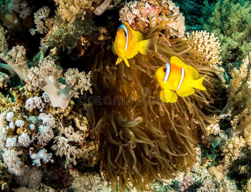 Um peixe de an?mona do Mar Vermelho em Egito imagem de stock royalty free