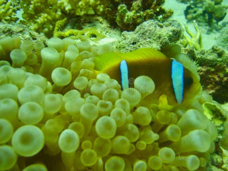 um peixe do doutor entre corais fotos de stock