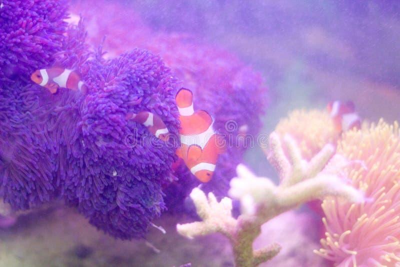 Um peixe do palhaço que nada em torno do coral graciosamente imagem de stock