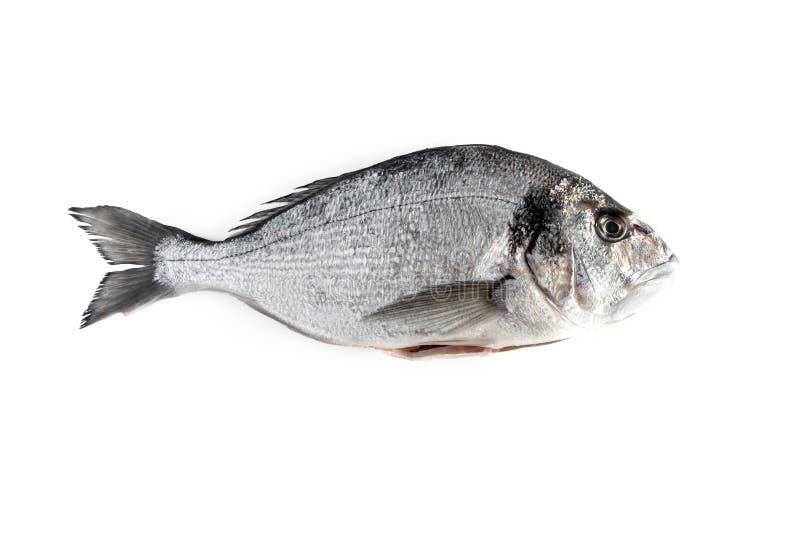 Um peixe fresco do sargo isolado no fundo branco fotografia de stock