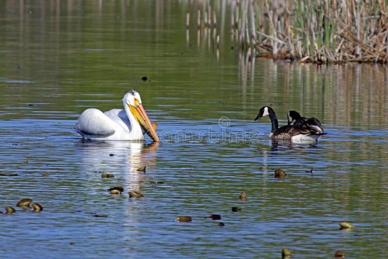 Um pelicano e alguns gansos canadenses fotos de stock royalty free