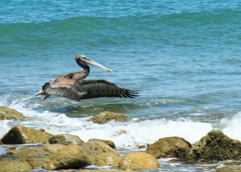 Um pelicano na decolagem fotografia de stock royalty free