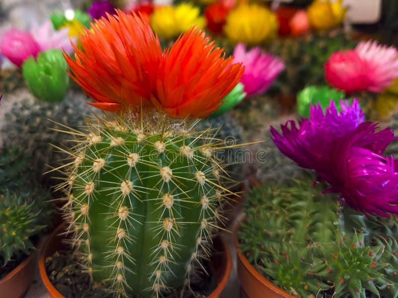 Um pequeno cacto multicolorido em um pote imagem de stock